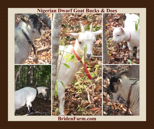 Nigerian Dwarf Goats: Bucks & Does