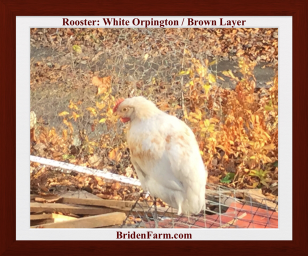 Rooster: White Orpington / Brown Layer
