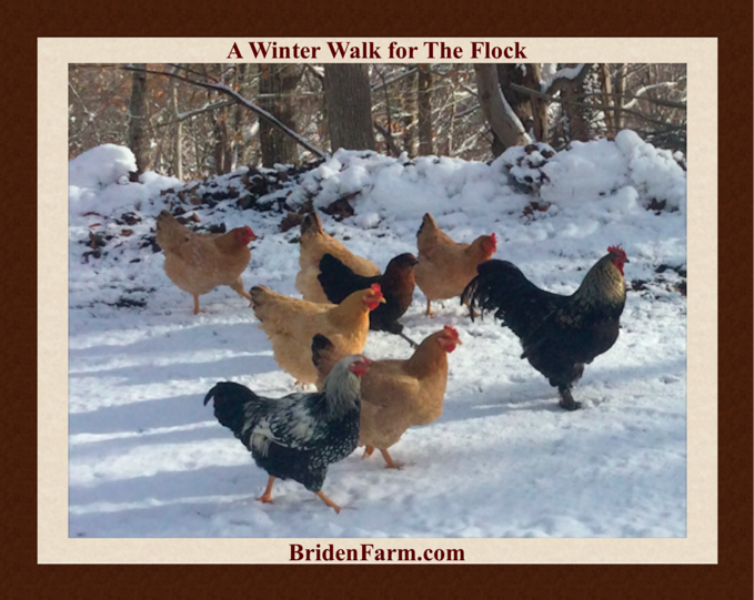 A Winter Walk for The Flock