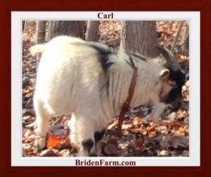 Carl, our Nigerian Dwarf Goat Buck