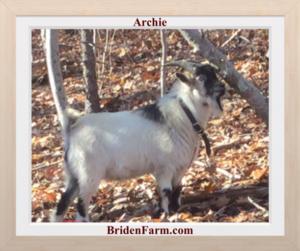 Archie, our Nigerian Dwarf Goat Buck