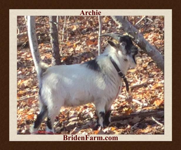 Archie the Nigerian Dwarf Goat Romancer