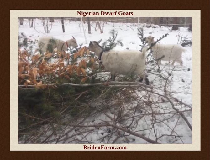In the Pasture with Our Nigerian Dwarf Goats
