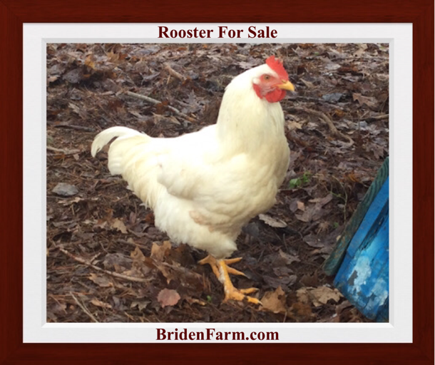 Beautiful White Rooster For Sale