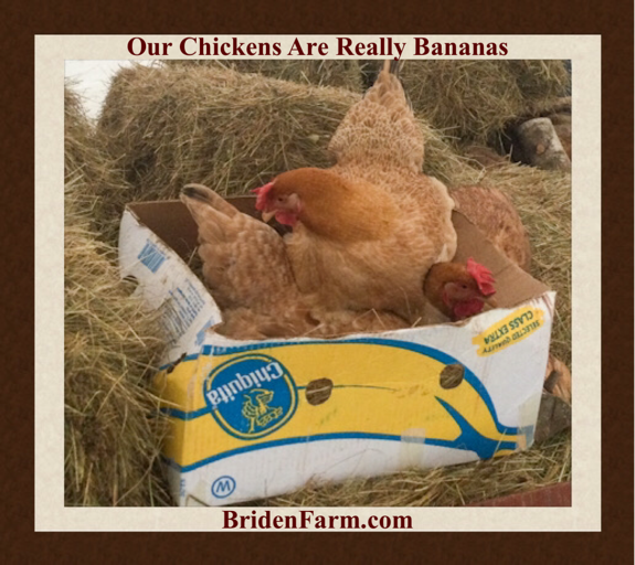 Our Chickens are Really Bananas