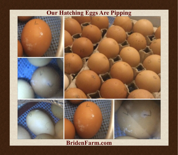 Our Hatching Eggs Are Pipping