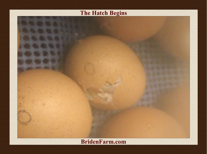 Hatching Begins