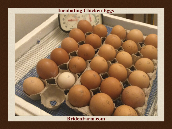 Incubating Chicken Eggs