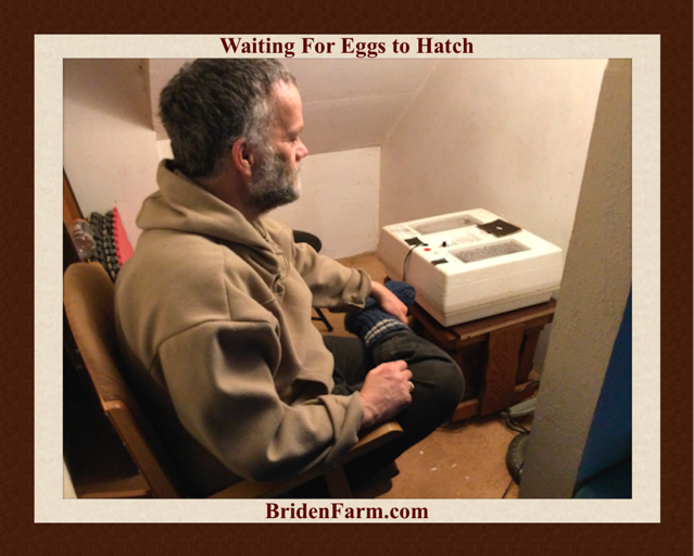 Hatching Eggs At Briden Farm