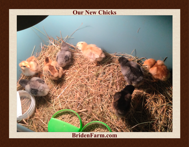 Our New Chicks at Briden Farm