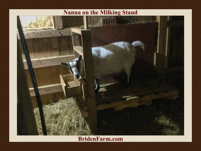 Nanna on the Milking Stand