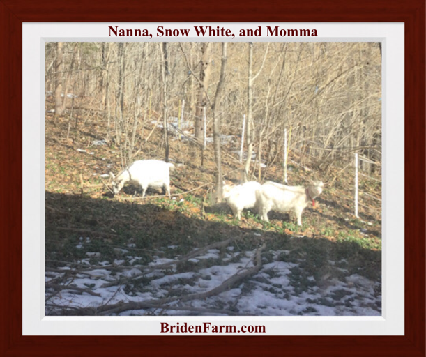 Nanna, Snow White, and Momma, Enjoying Their New Pasture