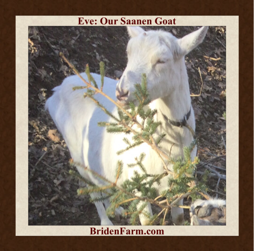 Eve: Our Saanen Goat