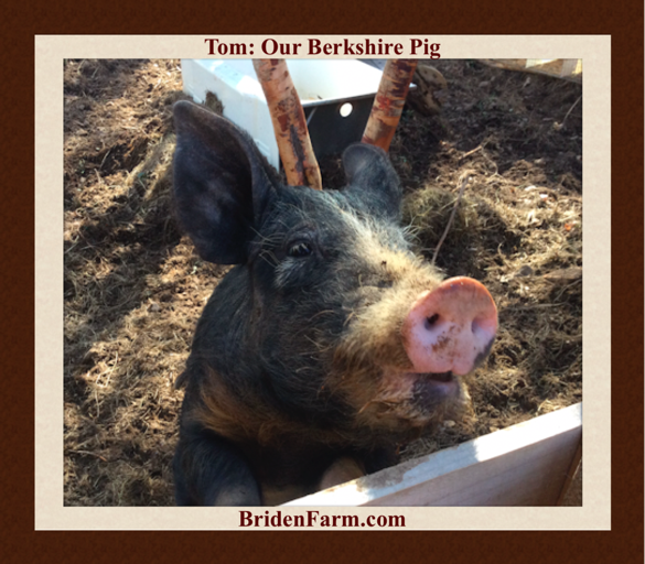 Tom Our Berkshire Pig