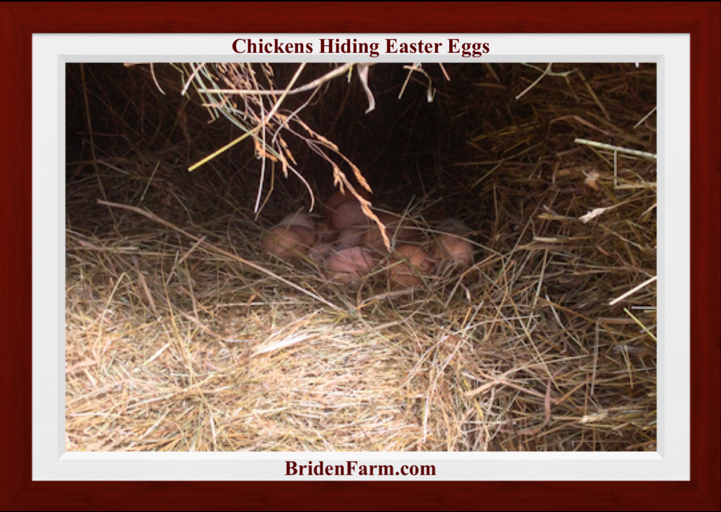 Chicken Hiding Easter Eggs