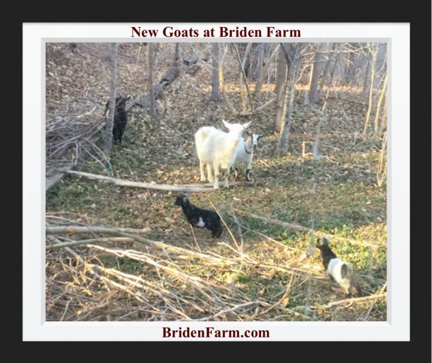 New Goats at Briden Farm
