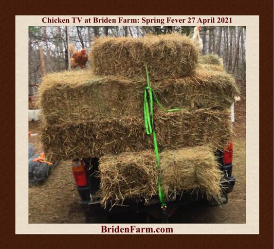 Chicken TV at Briden Farm: Spring Fever 27 April 2021