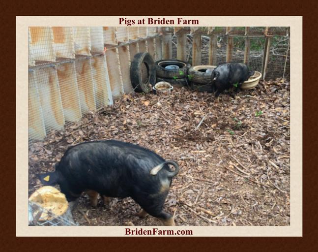 Pigs at Briden Farm