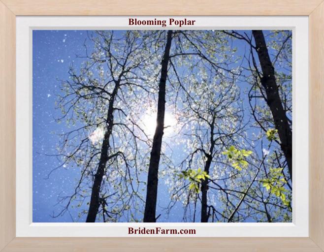 Blooming Poplar