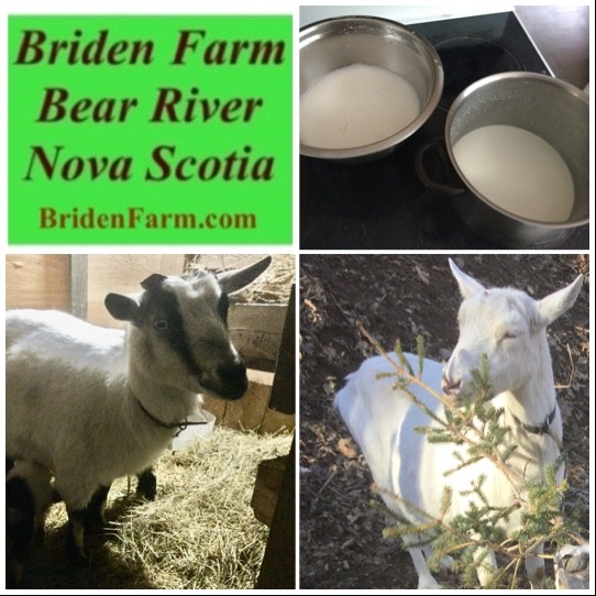 Two Goats Milking At Briden Farm