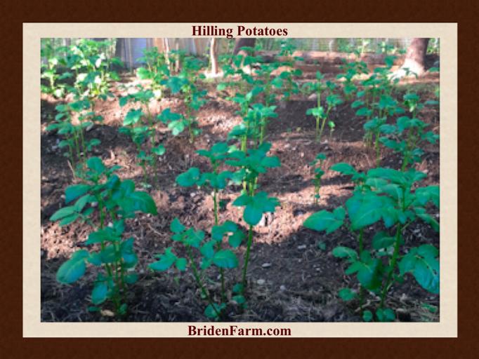 Hilling Potatoes at Briden Farm